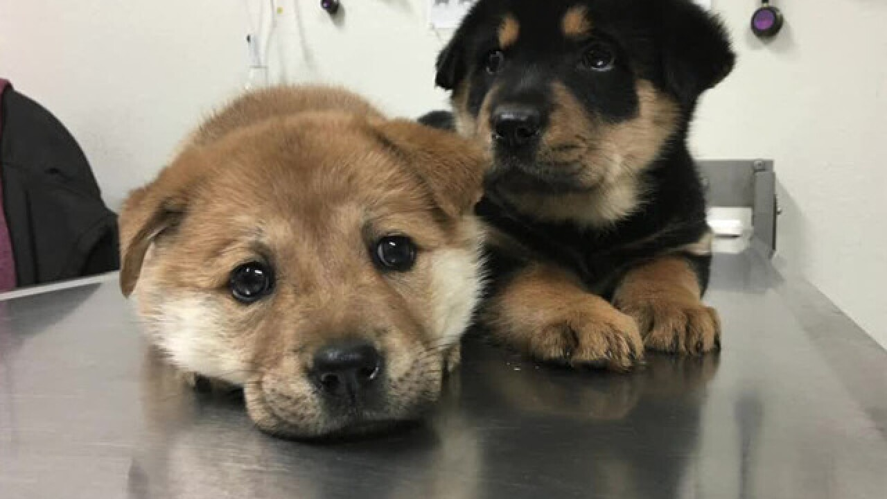 Orphaned 'W Puppies' made available for adoption by Helen Woodward Animal Center