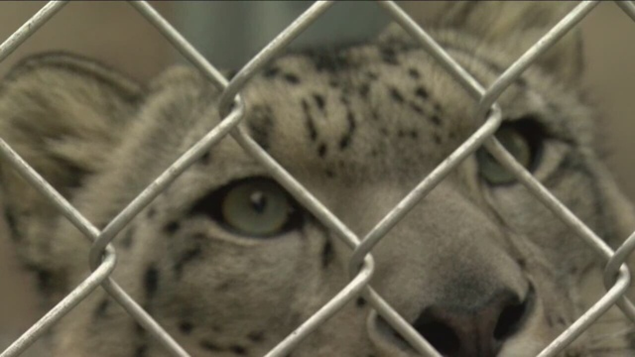 Milwaukee County Zoo shows off new snow leopard