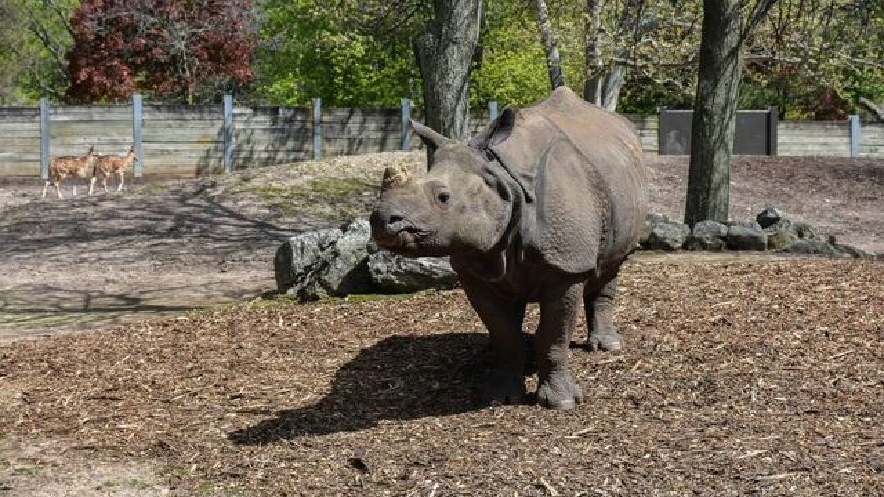 Baby Rhino due at Buffalo Zoo next summer