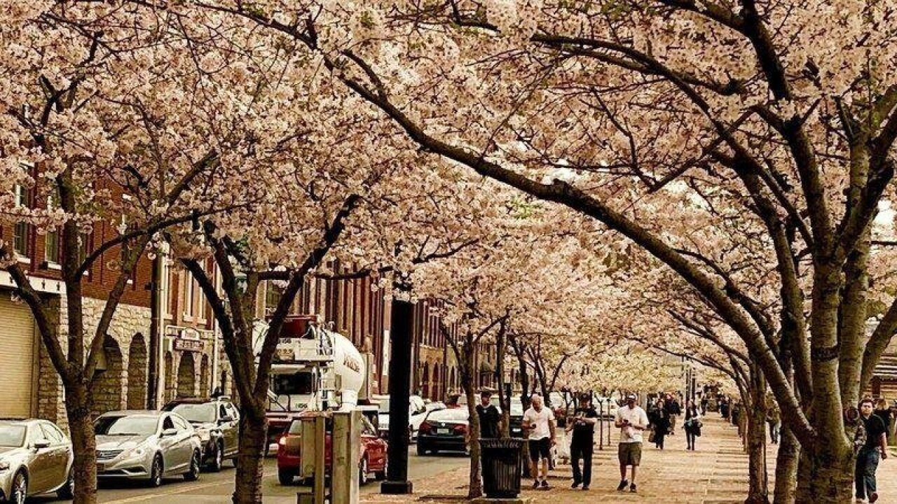 Cherry trees to be removed to make way for NFL Draft stage