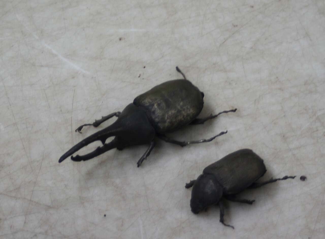 1-Adult beetle.JPG