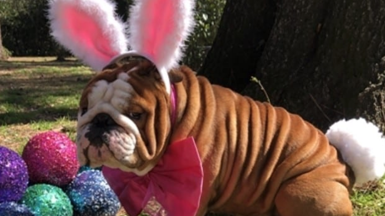 This adorable English bulldog won the contest to be the next Cadbury 'bunny'