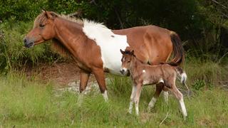 Assateauge_Horse.png