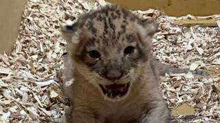 Denver Zoo July 2019 lion cub