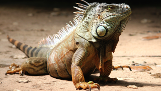 Generic-Iguana-PEXELS.png
