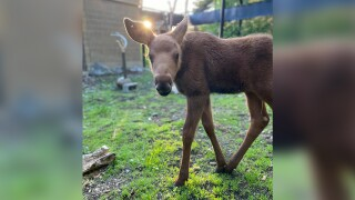 8-week-old Alaska moose
