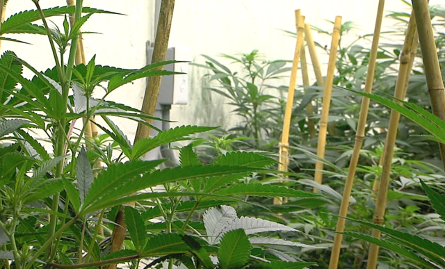 Photo gallery: Inside the $600K marijuana grow op busted by Detroit police