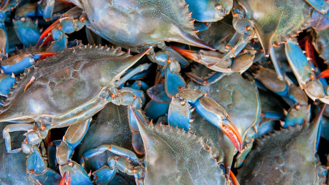 Chesapeake Bay blue crab population has increased by 60 percent