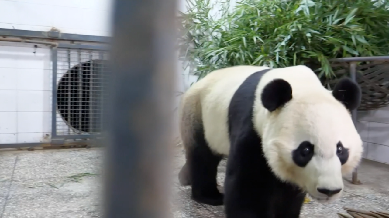 Bei Bei the panda arrives at his new home in China
