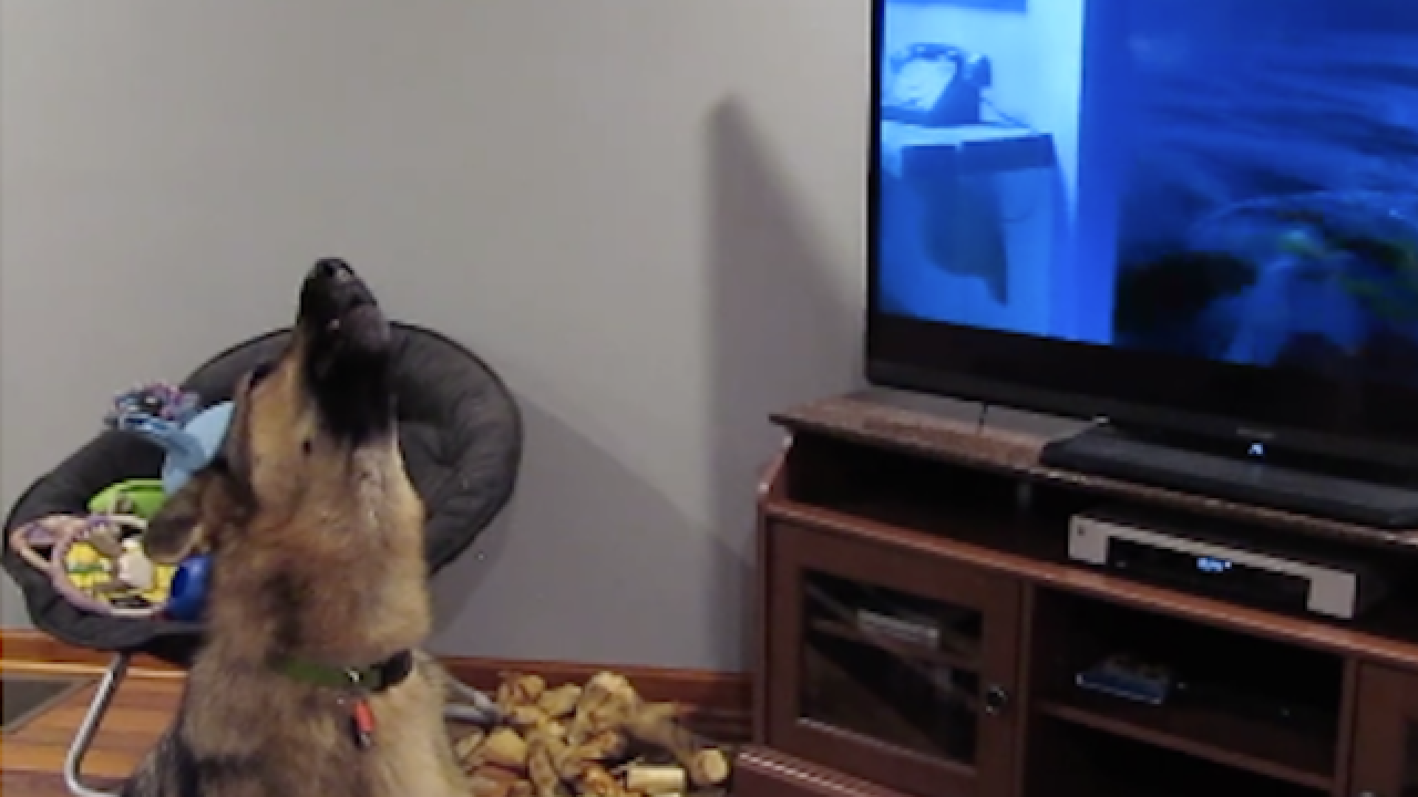 Dogs love to howl at video of other dogs howling