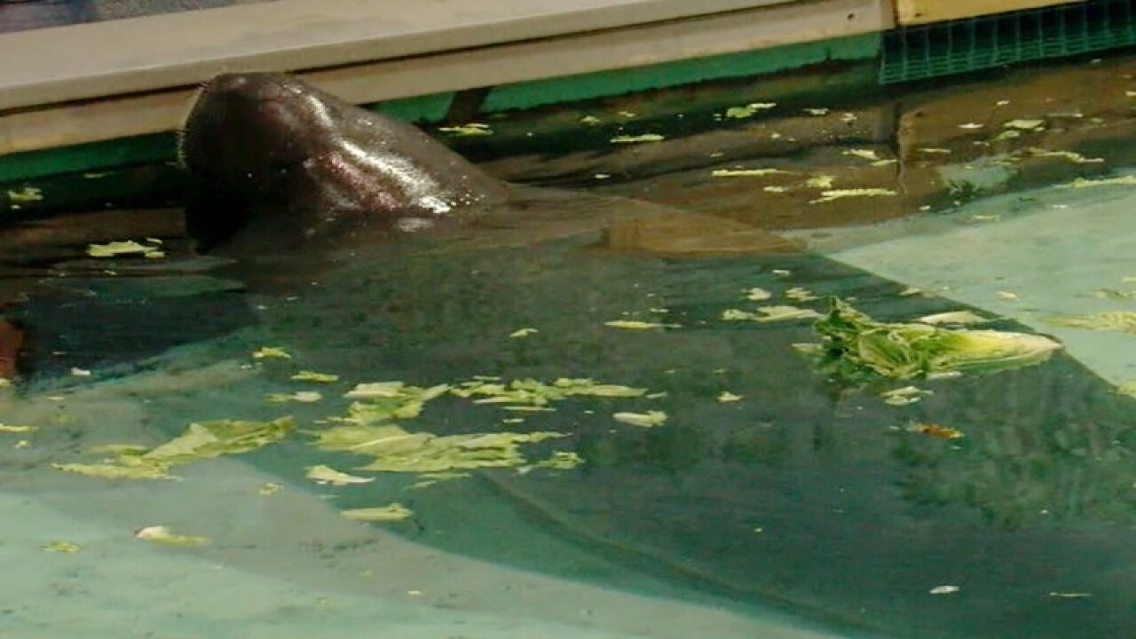 Snooty the manatee dies 2 days after birthday