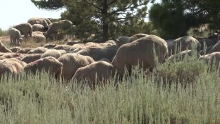 Montana Ag Report: New rules for sheep and goat industry