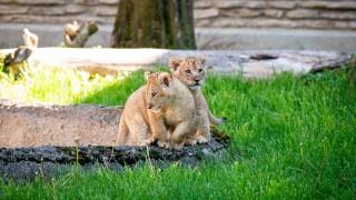 lion cubs outside 2-0530.jpg