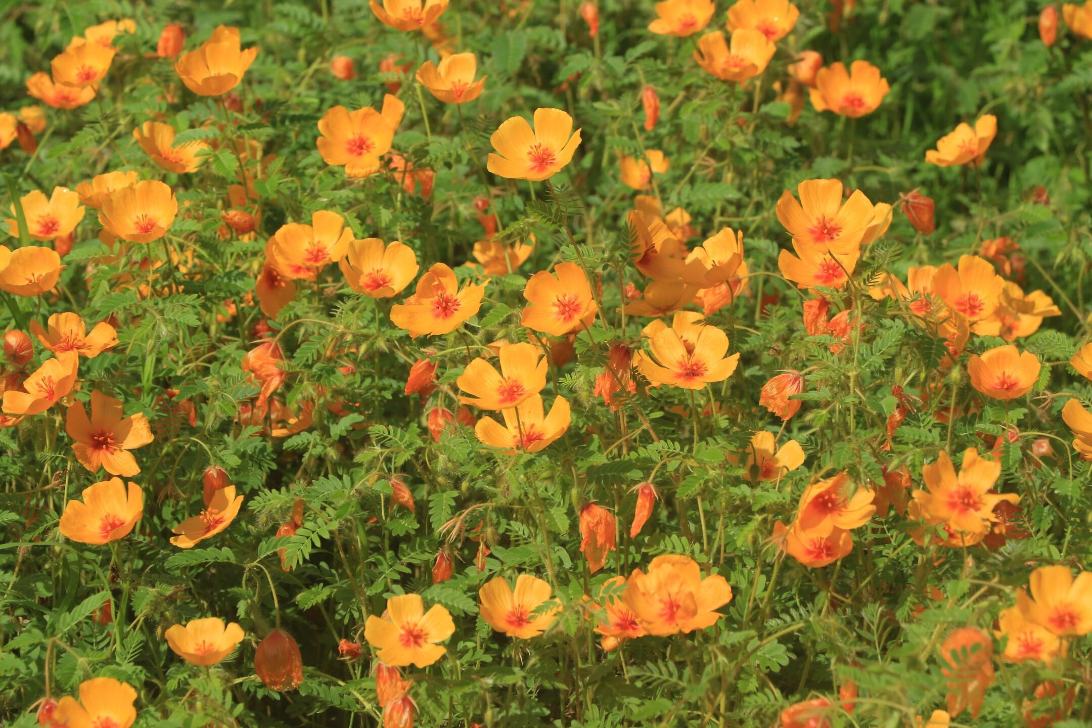 Monsoon rains bring forth poppies