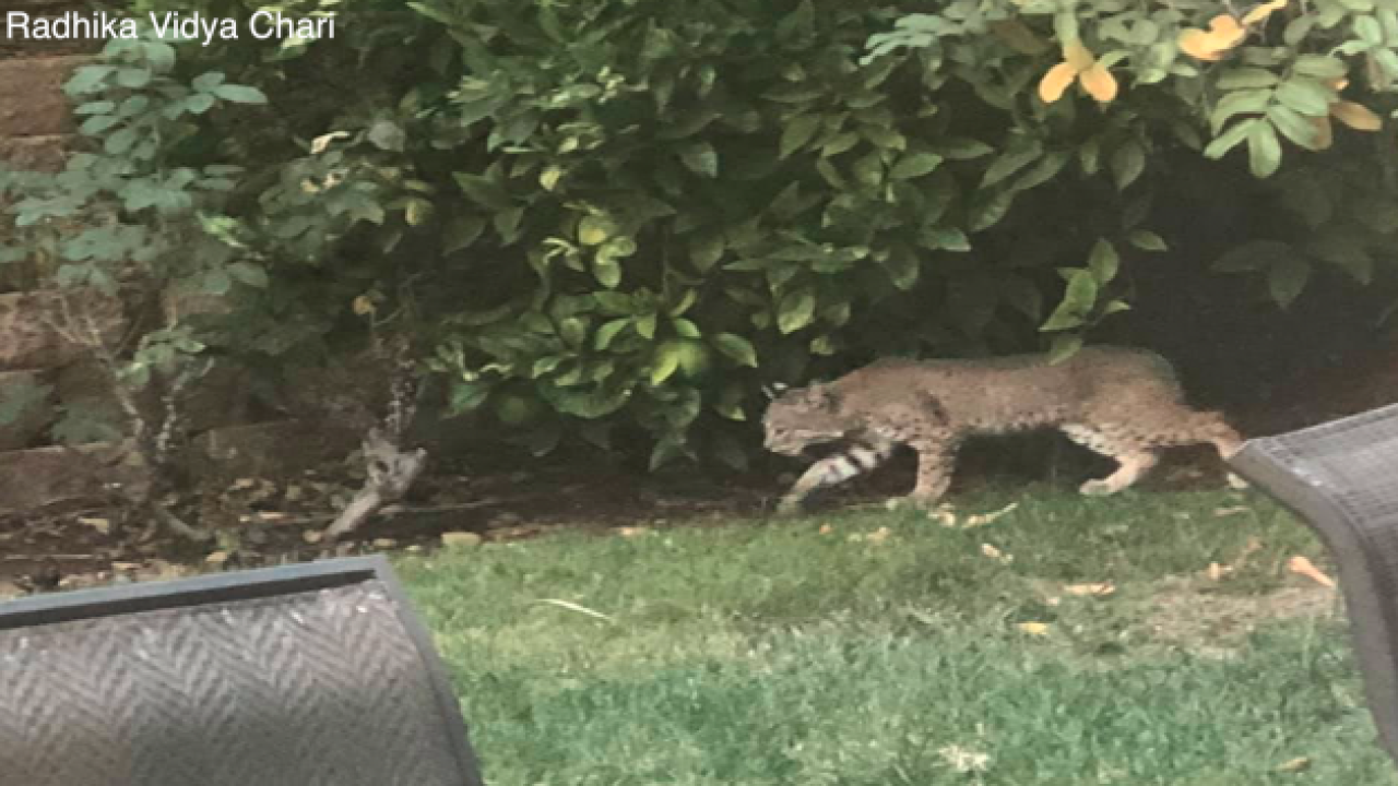Woman spots bobcat lurking through backyard in 4S Ranch