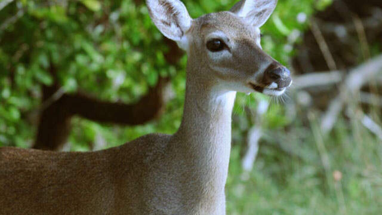 Survey: 949 Key deer survived Irma landfall in Florida Keys