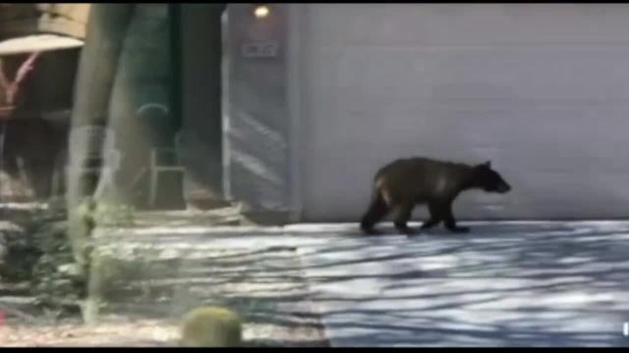 VIDEO: Bear spotted in Anthem neighborhood