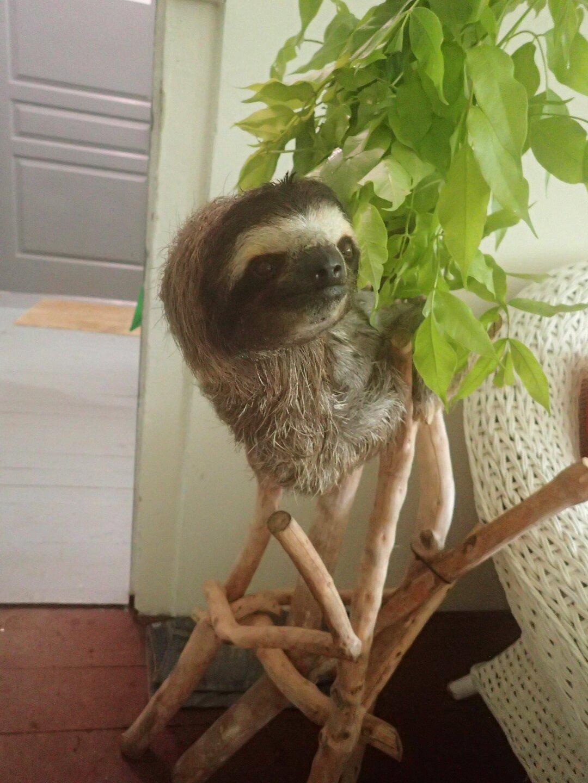 Baby Sloths (8).JPG