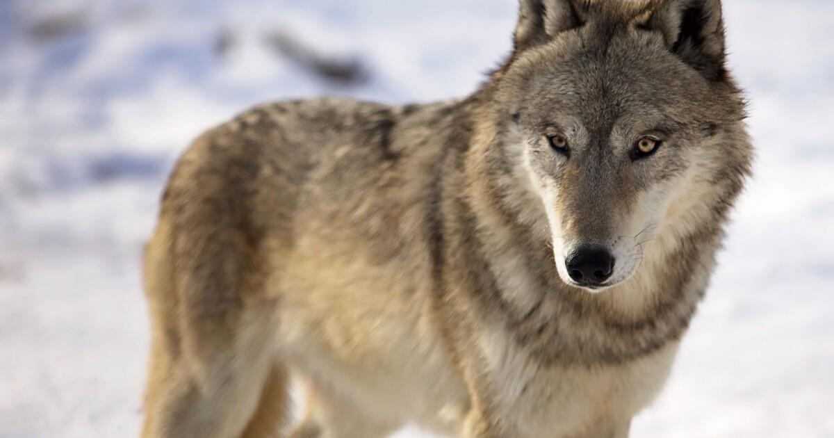 gray wolf 0.