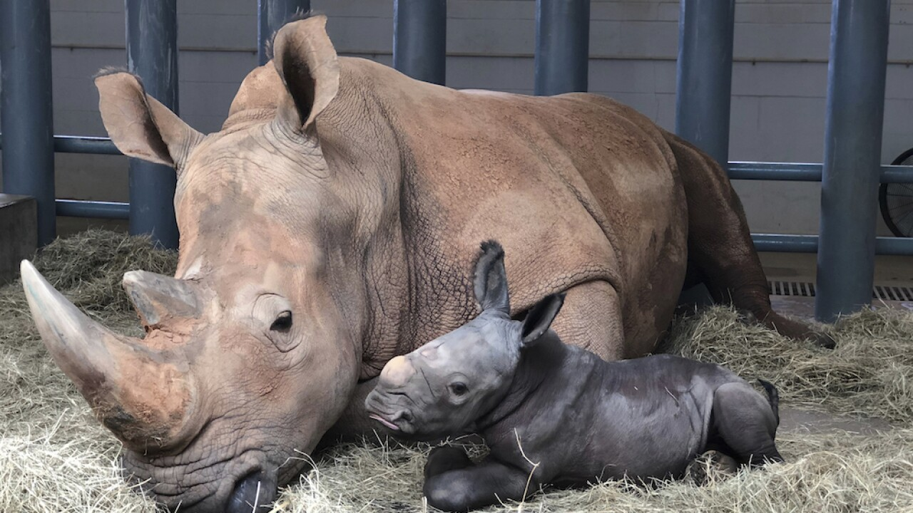 It's a boy -- a big boy. White rhino born at Disney World