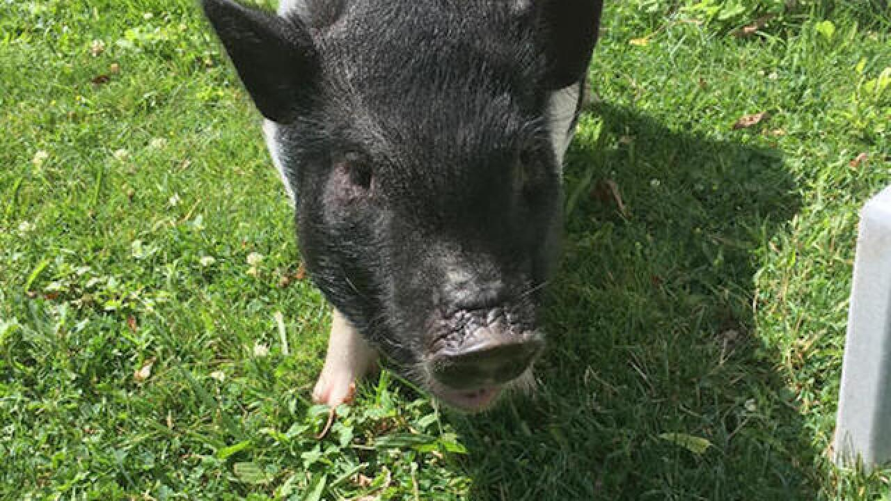 Missing therapy pig found after six weeks