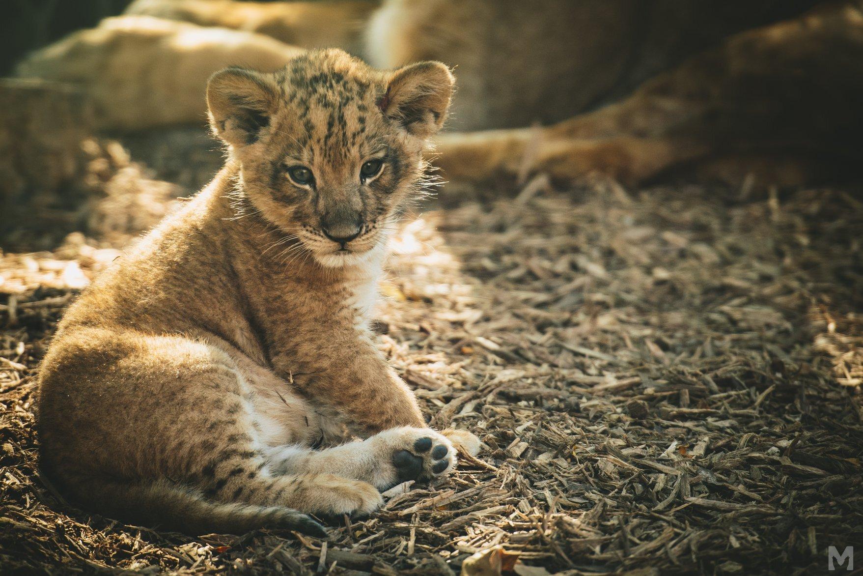 Lion Cub_10_Molly McCormick.jpg