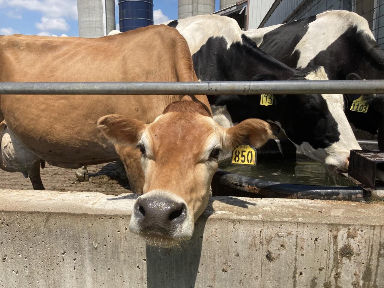 Cows at Alsteen Farms
