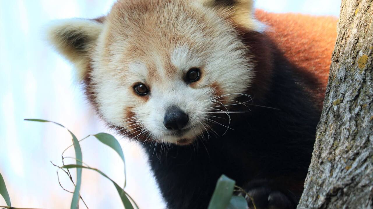Red Panda triplets born at John Ball Zoo