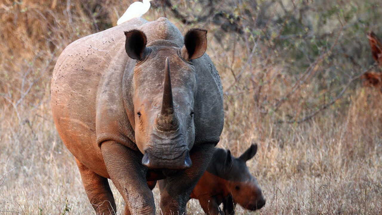 Auction house cancels controversial rhino horn sale