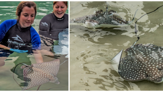 Two spotted eagle rays.png