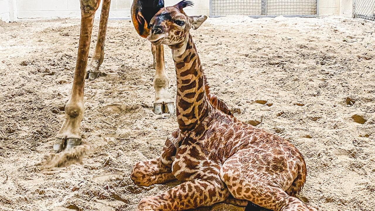 Virginia Zoo Giraffe 1.jpg