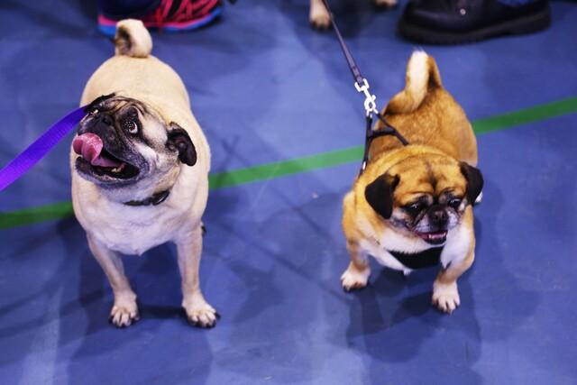 13th annual Milwaukee Pug Fest