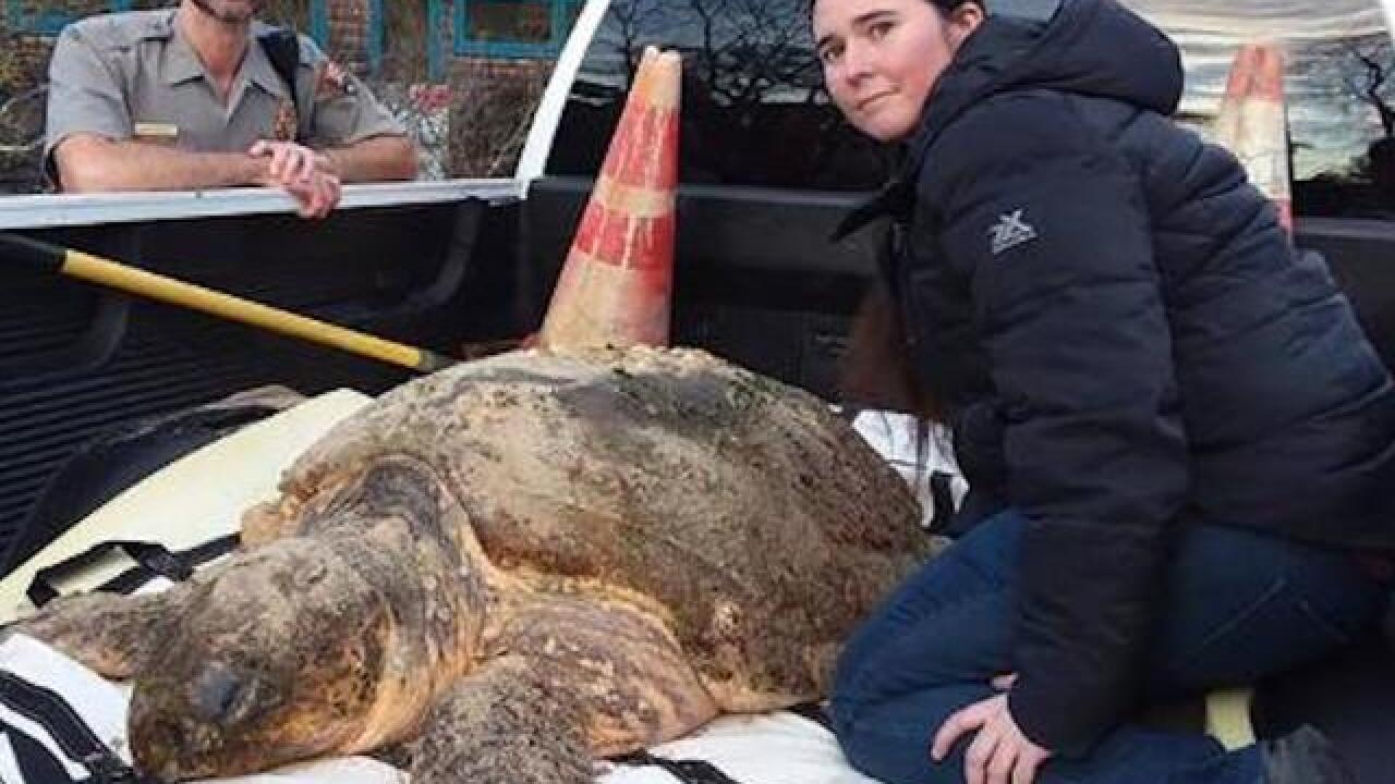 More than 100 sea turtles found dead off Cape Cod