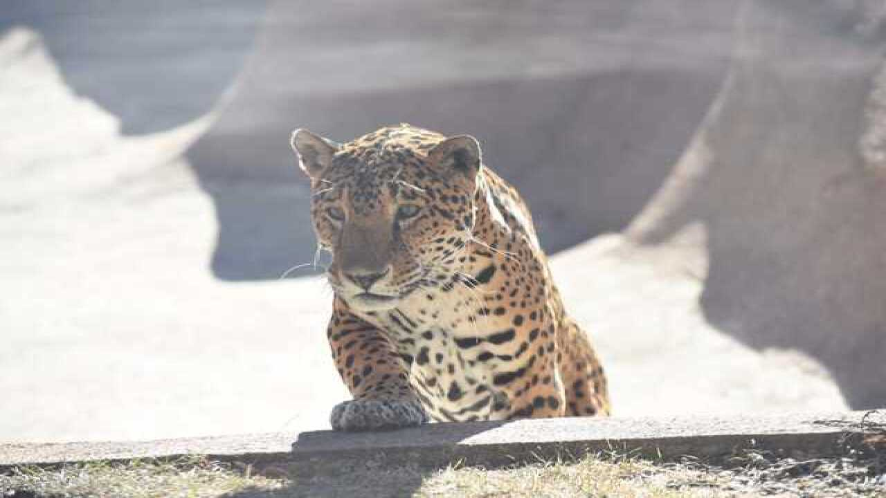 Milwaukee County Zoo's jaguar 'Pat' has died