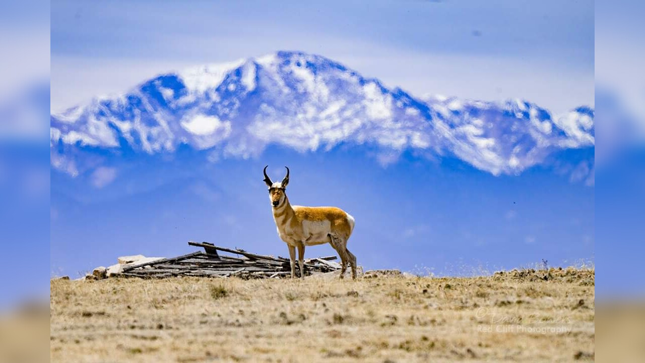 Pronghorn in front of Pikes Peak