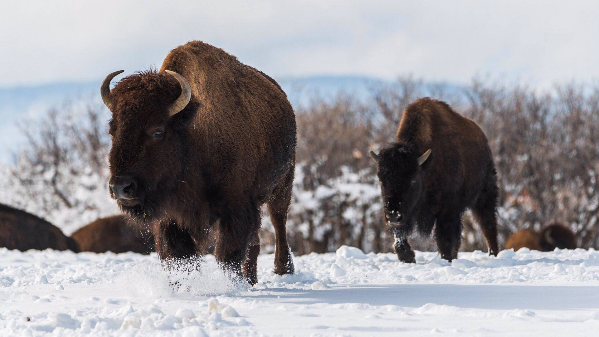 Buffalo Herd Michael Ryno Photography.jpg
