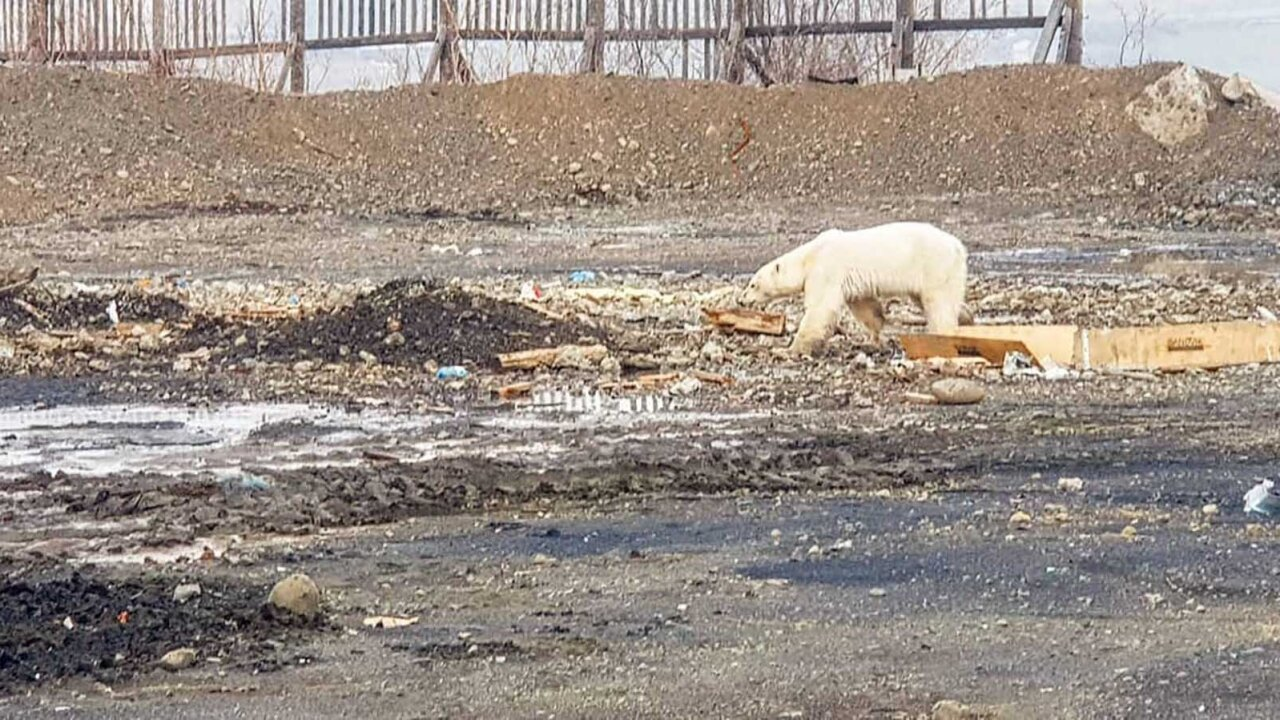 Hungry Polar Bear Norilsk