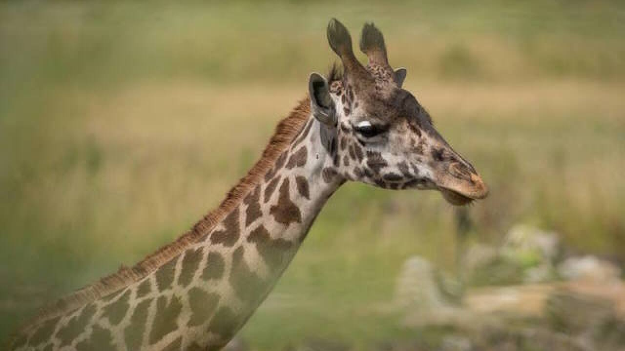 Giraffe calf dies after labor at the Columbus Zoo in Ohio