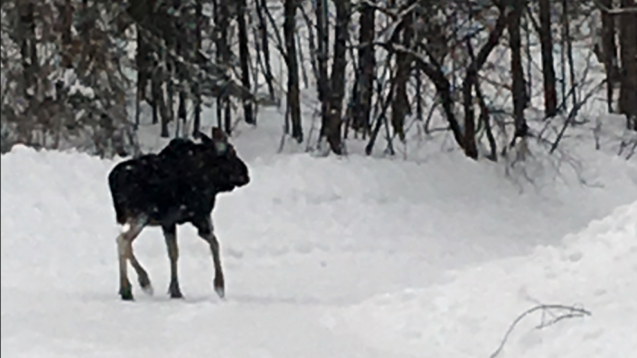 Michigan DNR reminds snowmobilers to watch for moose