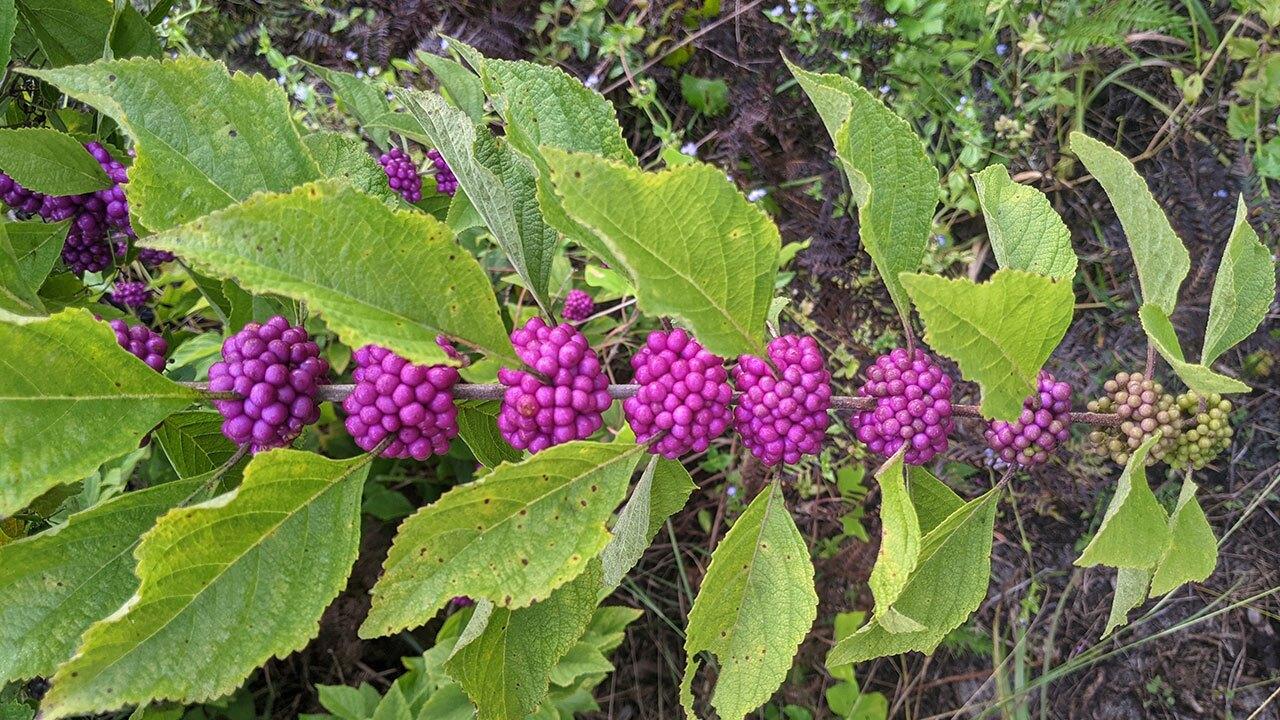 Beautyberry-Sarahs-Walking-Club-Fall-Scavenger-Hunt.jpg