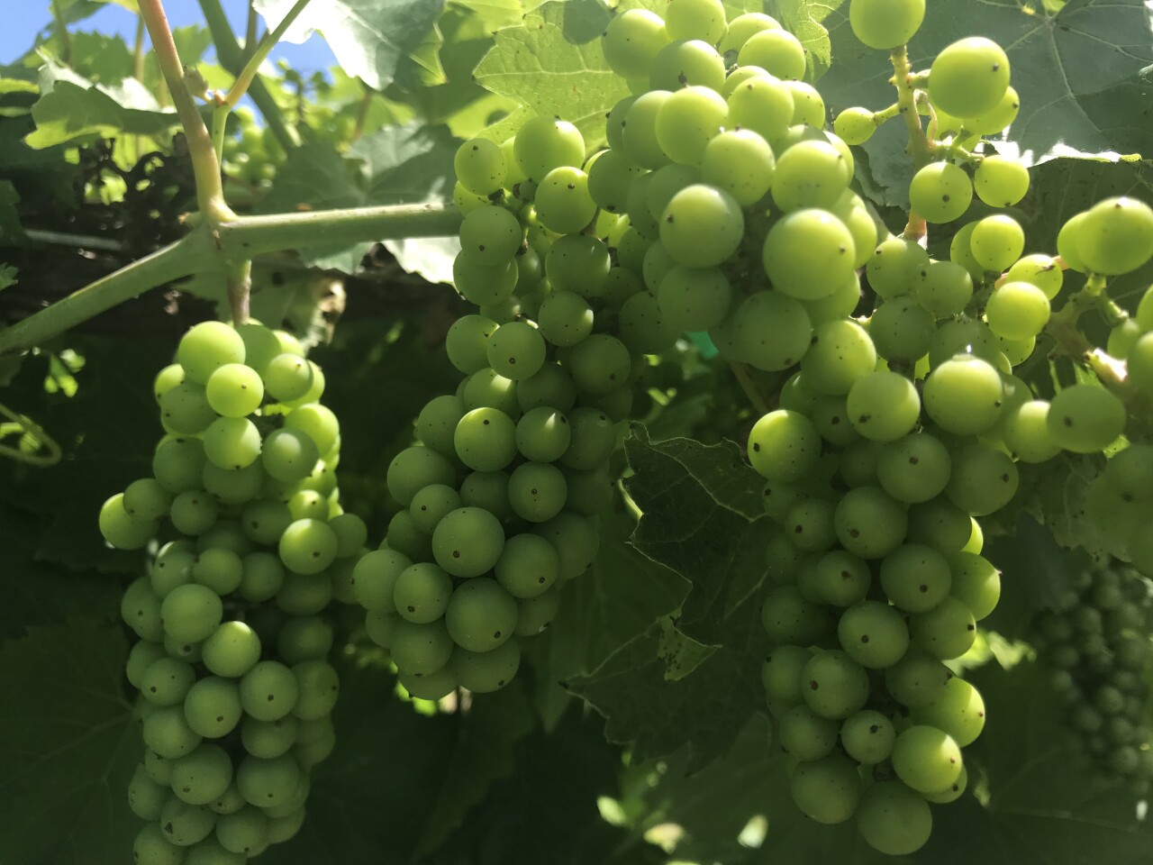 These hybrid grapes are bred to survive cold winters.