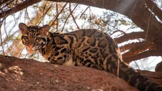 OKC Zoo Male Clouded Leopard Cub Credit Jennifer D'Agostino.jpg