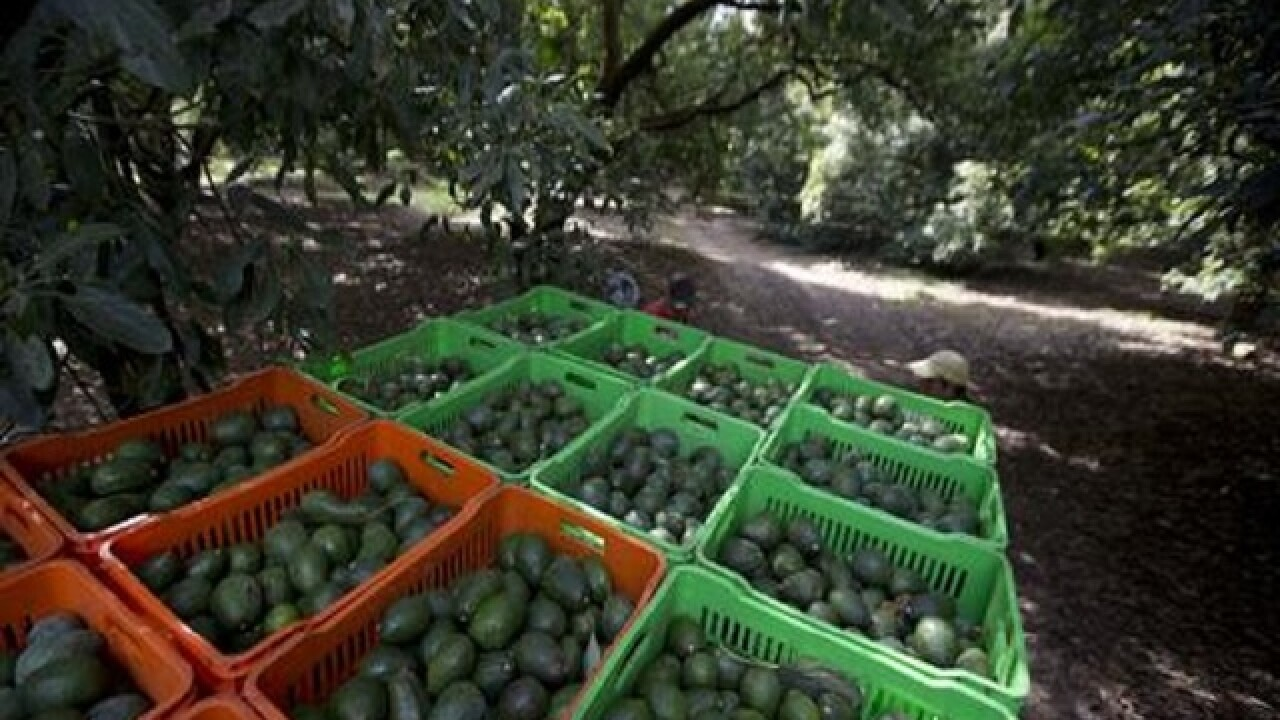 Mexico: Deforestation for avocados much higher than thought