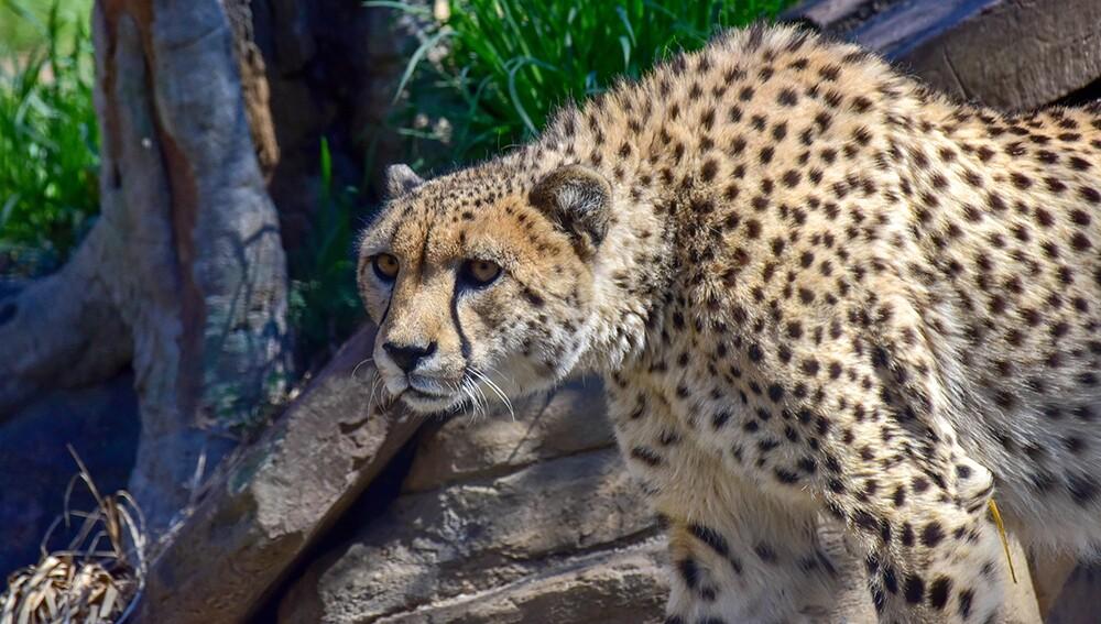 Zoo_Cheetah_03.jpg