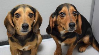 IOW beagles seized from home.png
