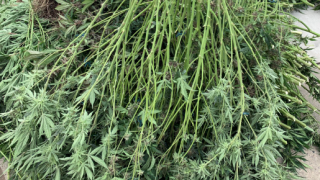 Illegal marijuana grow bust May 22, 2019