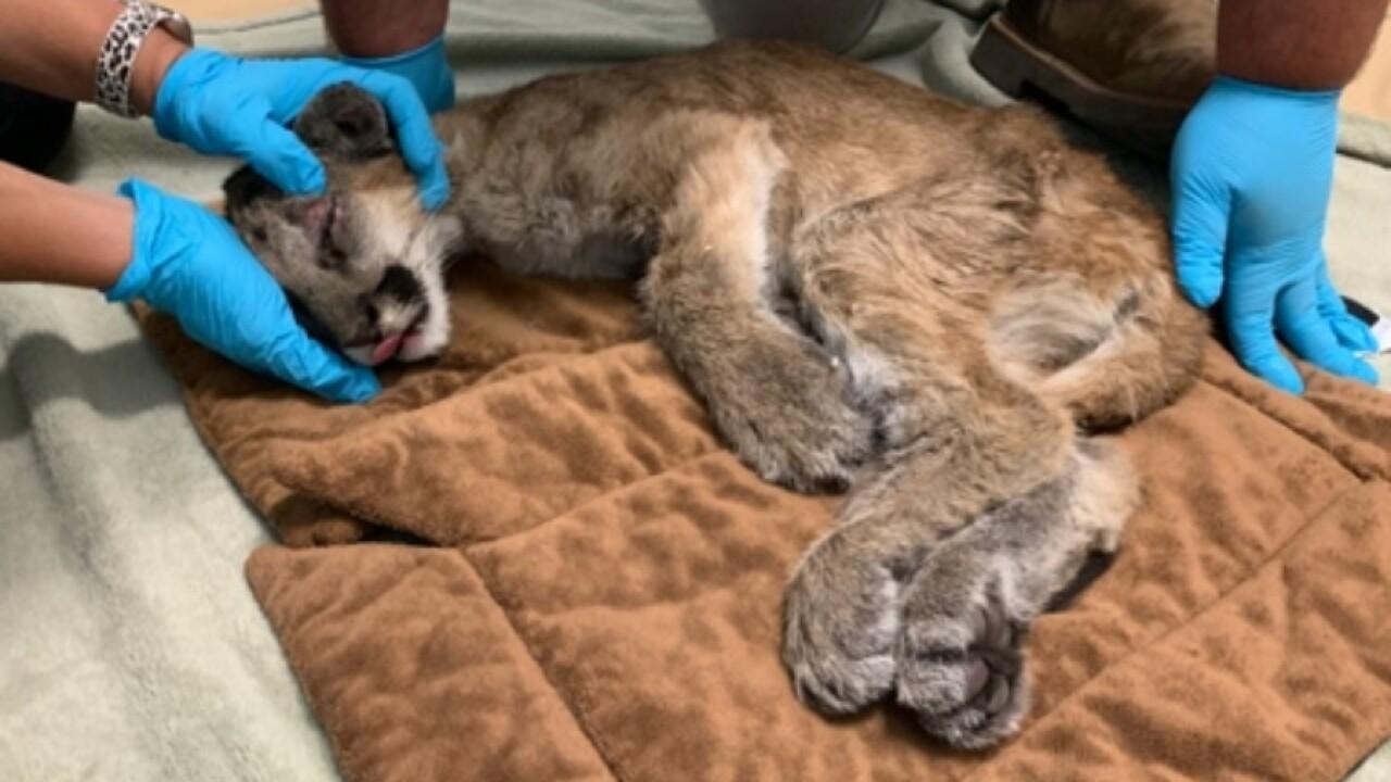 sd_humane_society_project_wildlife_mountain_lion_cub1.jpg
