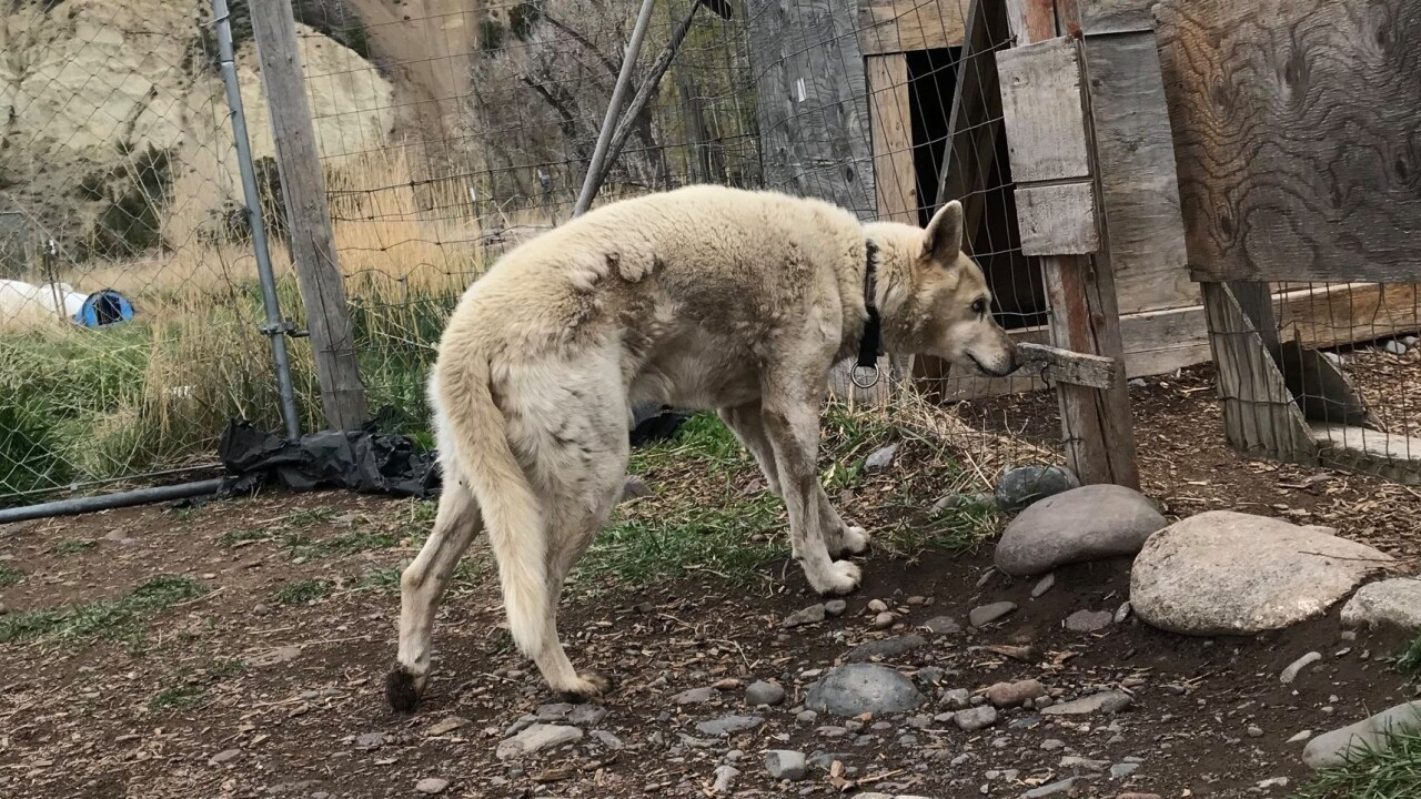Abandoned, neglected sled dogs rescued in Park County
