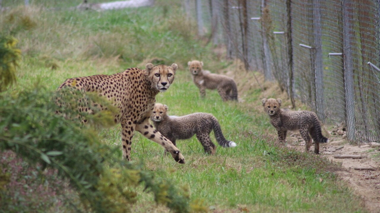 Zoo's homegrown cheetahs: 62 cubs so far