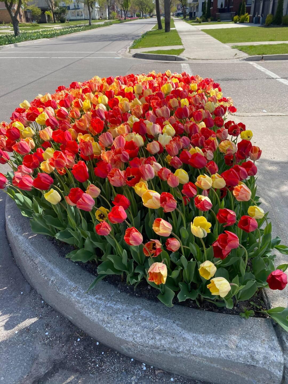 Tulips 6 - Courtesy Kim Reid Bos via Facebook.jpg